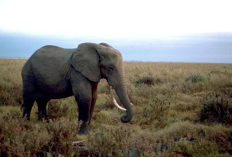 African elephant Image/Gary M. Stolz, U.S. Fish and Wildlife Service