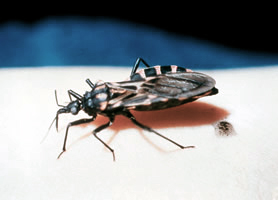 "The Triatoma or ""kissing"" bug. Image/CDC"