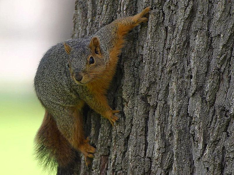 Man died of mad cow-like disease after eating squirrel's brain