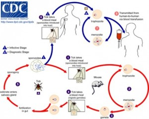 Babesia life cycle/CDC