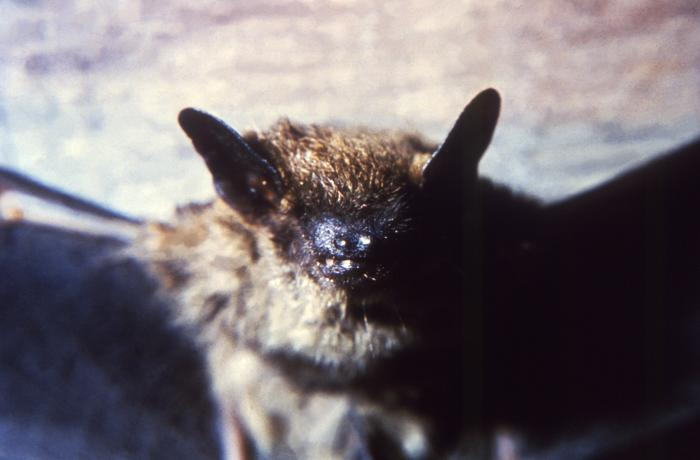 Brown Bat
