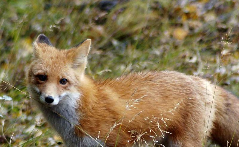 Red fox Image/Laubenstein Ronald, U.S. Fish and Wildlife Service