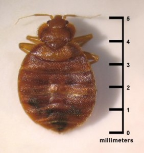 Cimex lectularius bed bug/CDC
