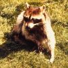 Raccoon image/CDC