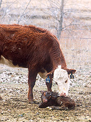 Cow and calf Image/Agricultural Research Services