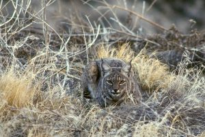 Bobcat Image/U.S. Fish and Wildlife Service