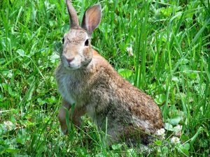 Wild Rabbit Image/Dtw2tv