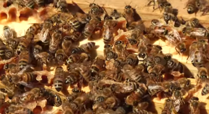 13 lactic acid bacteria found in the honey stomach of bees have shown promising results in a series of studies at Lund University in Sweden Image/Video Screen Shot