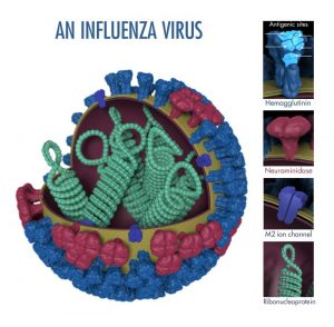 This is a 3-dimensional illustration showing the different features of an influenza virus, including the surface proteins hemagglutinin (HA) and neuraminidase (NA)/CDC