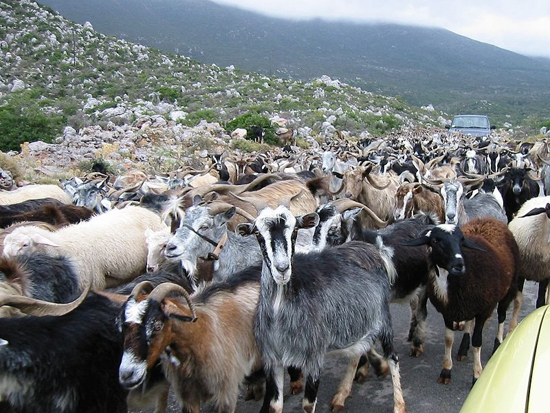 Herd of goats/Public domain image via Wikimedia commons