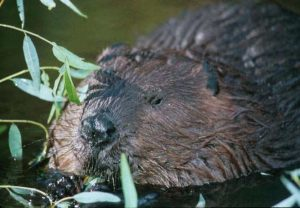 Beaver/ U.S. Fish and Wildlife Service