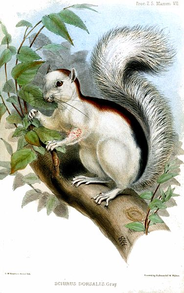 Variegated Squirrel Public domain image/Proceedings of the Zoological Society of London