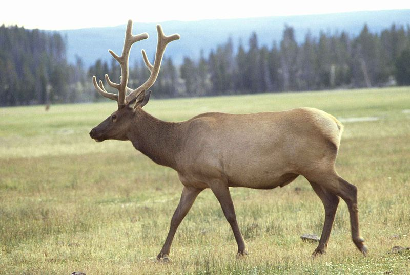 Elk Image/Leupold Jim, U.S. Fish and Wildlife Service