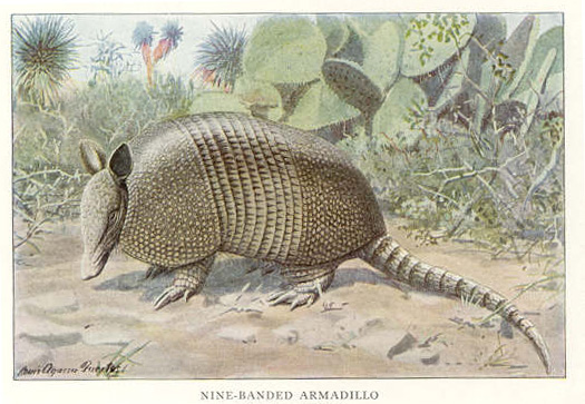 Public domain  Lithograph of a nine-banded armadillo from the 1918 National Geographic Small Mammal series
