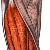 Leg muscle Public domain image/Gray's Anatomy