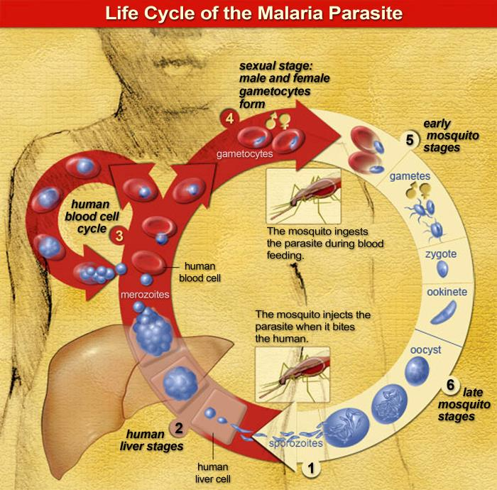 Malaria life cycle/CDC