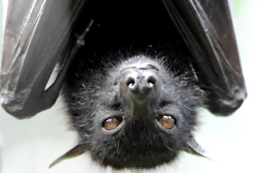 Pteropus  fruit bat Image/Video Screen Shot