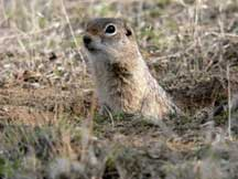 Ground squirrel/U.S. Fish and Wildlife Service