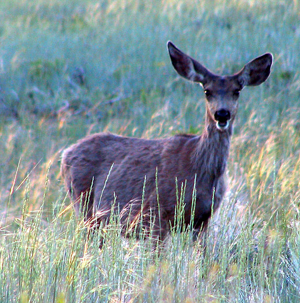 Mule deer/ National Park Service