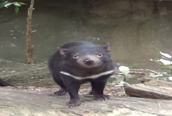 Tasmanian devil Image/Video Screen Shot
