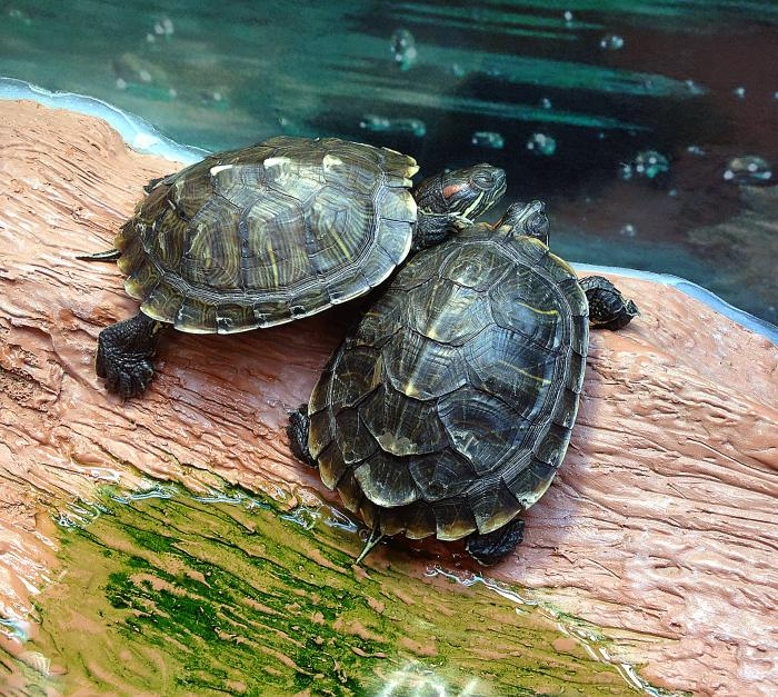 Pet turtles linked to salmonella outbreak across 13 states, CDC says
