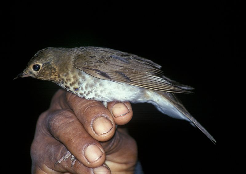 Swainson's Thrush/National Biological Information Infrastructure project of the United States Geological Survey's Biological Informatics Office.