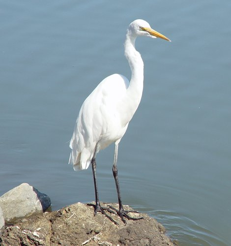 Great Egret Image/Bento00
