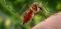 Aedes aegypti Image/CDC
