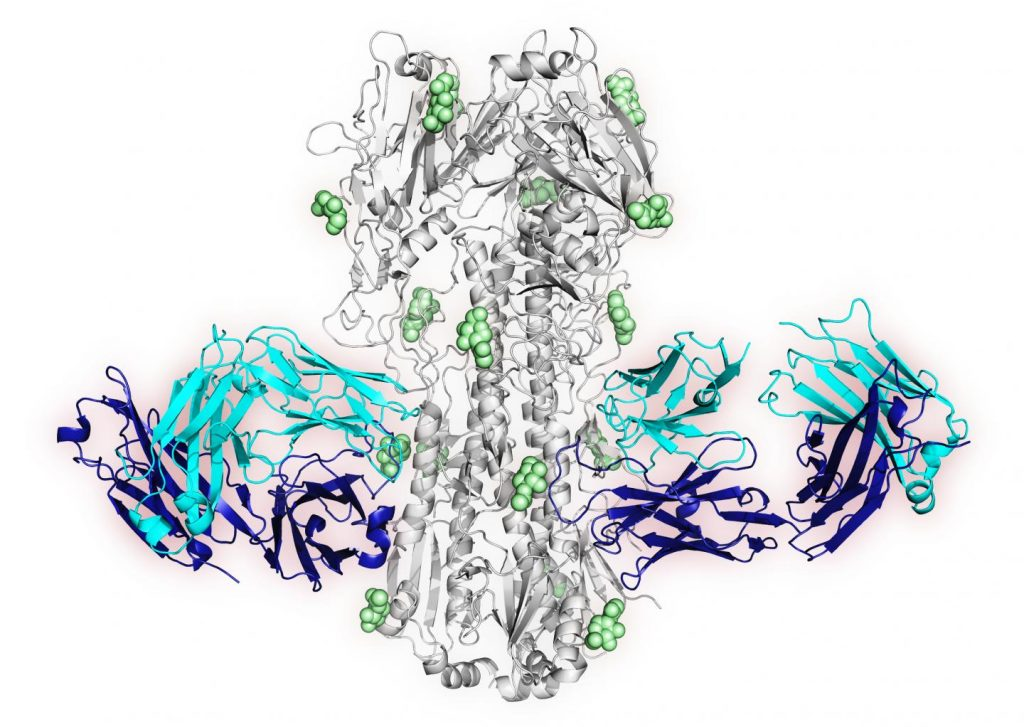 This is an X-ray crystal structure image of one of the new signature antibodies. The blue ribbons show antibody 16.a.26 Fab regions. The grey ribbons represent HA of influenza strain 1968 Hong Kong. The green spheres are glycans. Image/NIAID VRC