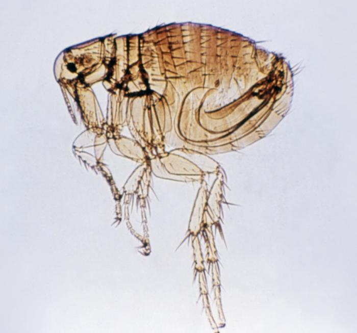 California: Long Beach reports increase in flea-borne typhus, 'already double that of past years' - Outbreak News Today