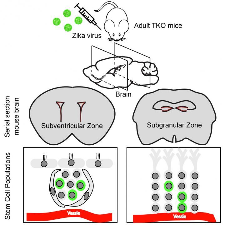 This visual abstract shows the findings of Li et al., that peripheral ZIKV exposure in a mouse model can infect adult neural stem cells in the brain, leading to cell death and reduced proliferation. Thus, in addition to impacting fetal development, ZIKV infection may also have negative effects on the adult brain. Image/Li et al./Cell Stem Cell