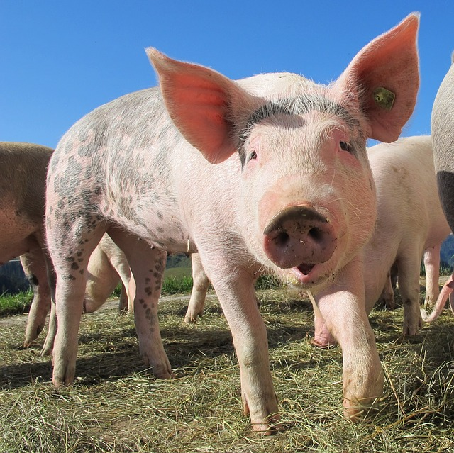 Porcine epidemic diarrhea reported in Alberta for the 1st time - Outbreak News Today
