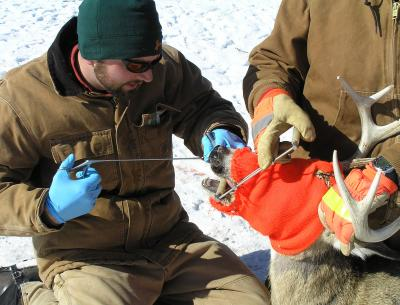 David Edmunds, recent University of Wyoming Ph.D. graduate, performs a tonsil biopsy on a white-tailed deer to test for chronic wasting disease. He and other UW researchers have documented the first conclusive evidence that CWD found at high prevalence leads directly to population declines in free-ranging deer populations. Image/Todd Cornish