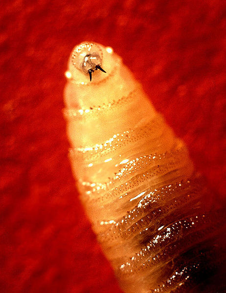 Screwworm larva/ Agricultural Research Service