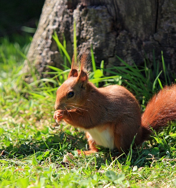 UK: Mycobacterium leprae detected in red squirrels - Outbreak News Today | Outbreak News Today