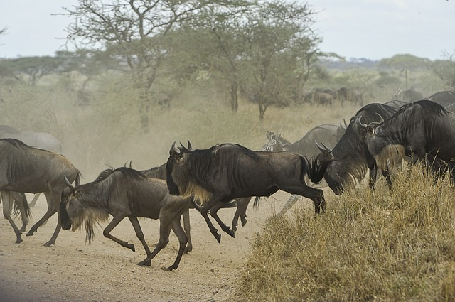 Wildebeests/Skeeze