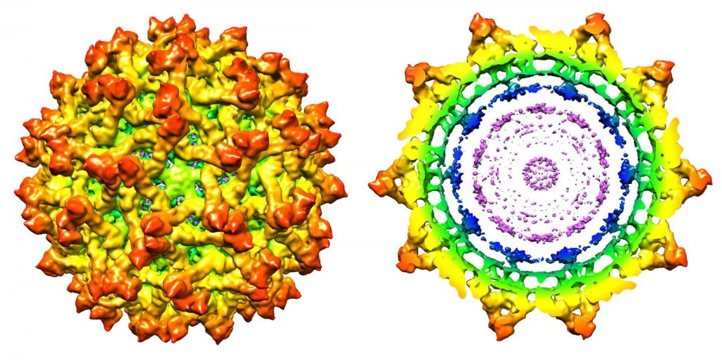 Purdue researchers have determined the high-resolution structure of the immature Zika virus. This composite image of the surface (left), and cross-sectional region (right), reflect the new findings. Research into a virus's structure provides insights important to the development of effective antiviral treatments and vaccines. Purdue University image courtesy of Kuhn and Rossmann research groups