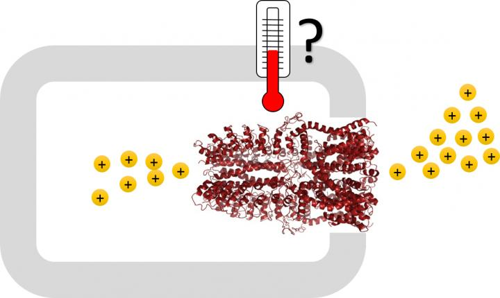 The dark red illustration shows the human counterpart to the temperature receptor of the malaria mosquito which has now been studied. The mechanism of how the flow of positive ions through the channel is controlled by the temperature is unclear, but the study shows that most of the part inside the cell is unnecessary. Image/Sabeen Survery and Urban Johanson