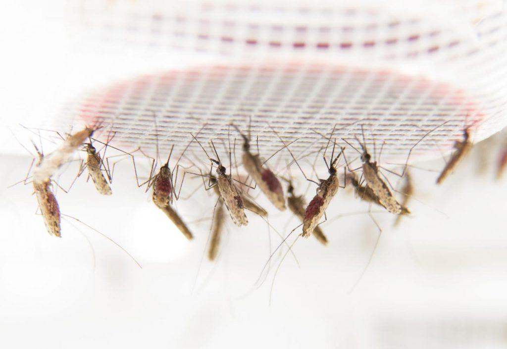 These are feeding mosquitoes in the laboratory at Stockholm University. Image/Anna-Karin Landin/Stockholm University