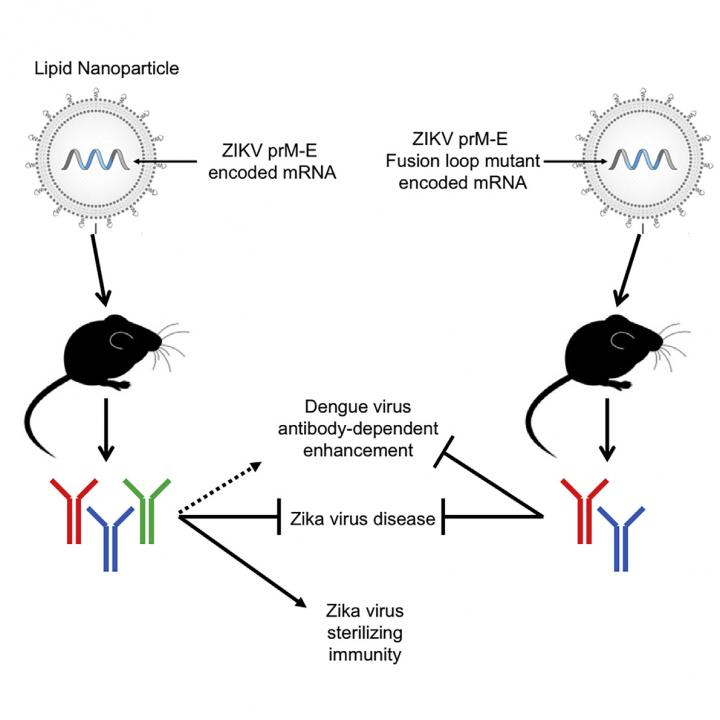 This visual abstract shows the findings of Richner and Himansu et al. that a modified mRNA vaccine induces sterilizing immunity against Zika virus while minimizing the generation of crossreactive antibodies that may enhance dengue infection. Image/Richner and Himansu et al./Cell 2017
