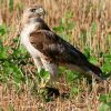 Red-tailed hawk Image/edbo23