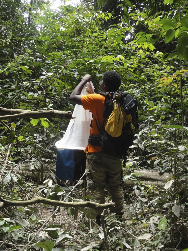 First author Paul-Yannick Bitome-Essono collects trapped blood-feeding flies from a Vavoua trap in Moukalaba-Doudou National Park, Gabon. Image/Franck Prugnolle