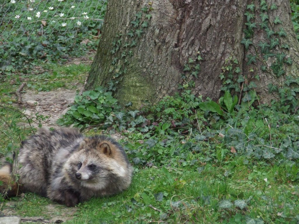 Compared to the raccoon, the raccoon dogs are more closely related to foxes and thus the more emerging threat as an additional vector. Image/Tanja Duscher/Vetmeduni Vienna