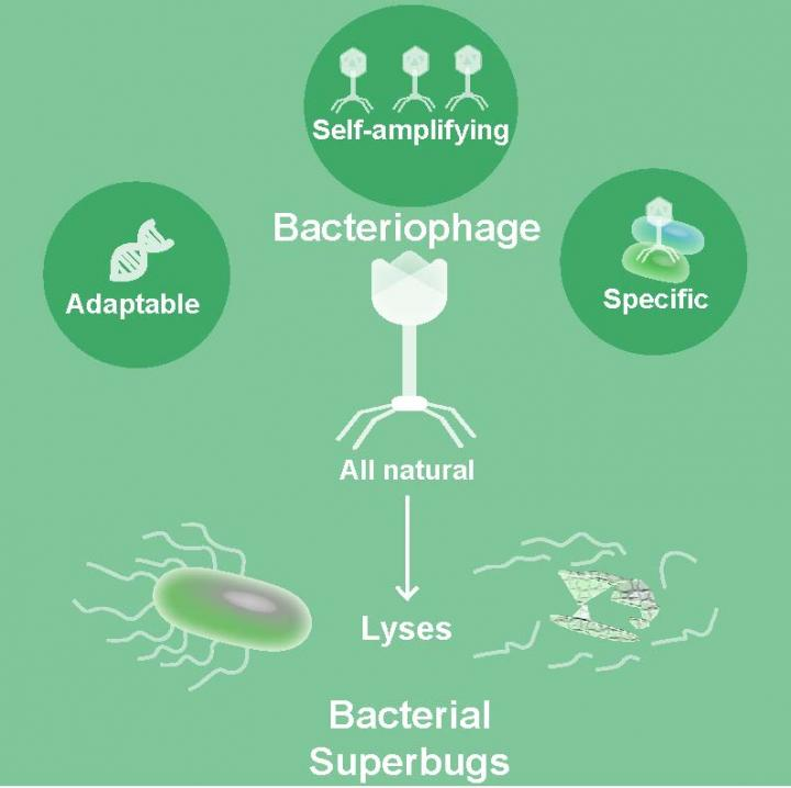 Bacteriophages can potentially be used to combat antibiotic-resistant bacterial infections. Image: Sabrina Green/Baylor College of Medicine