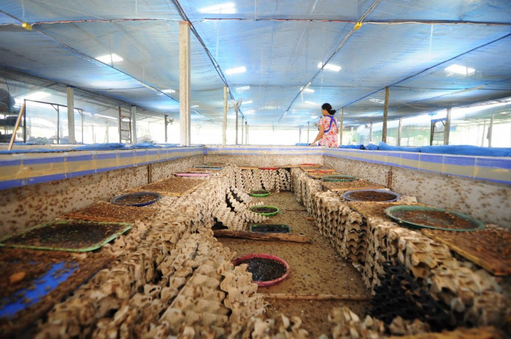 A Cricket Farm in Mahasalakam Province, Thailand Image/ Afton Halloran
