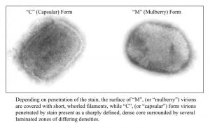 A negative stain electron micrograph demonstrates the two forms of the brick-shaped monkeypox virus from a cell culture Image/CDC