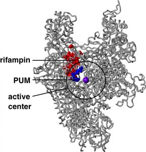 Pseudouridimycin and Rifampin Image/David Degen and Richard H. Ebright (Rutgers University)