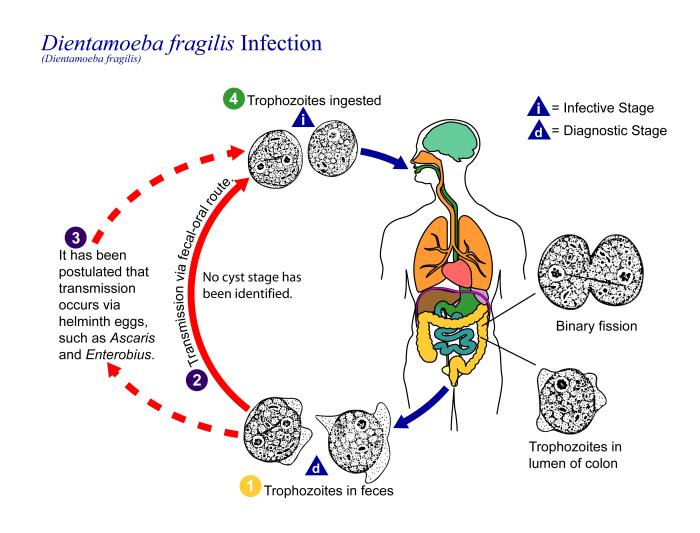 D. fragilis life cycle/CDC