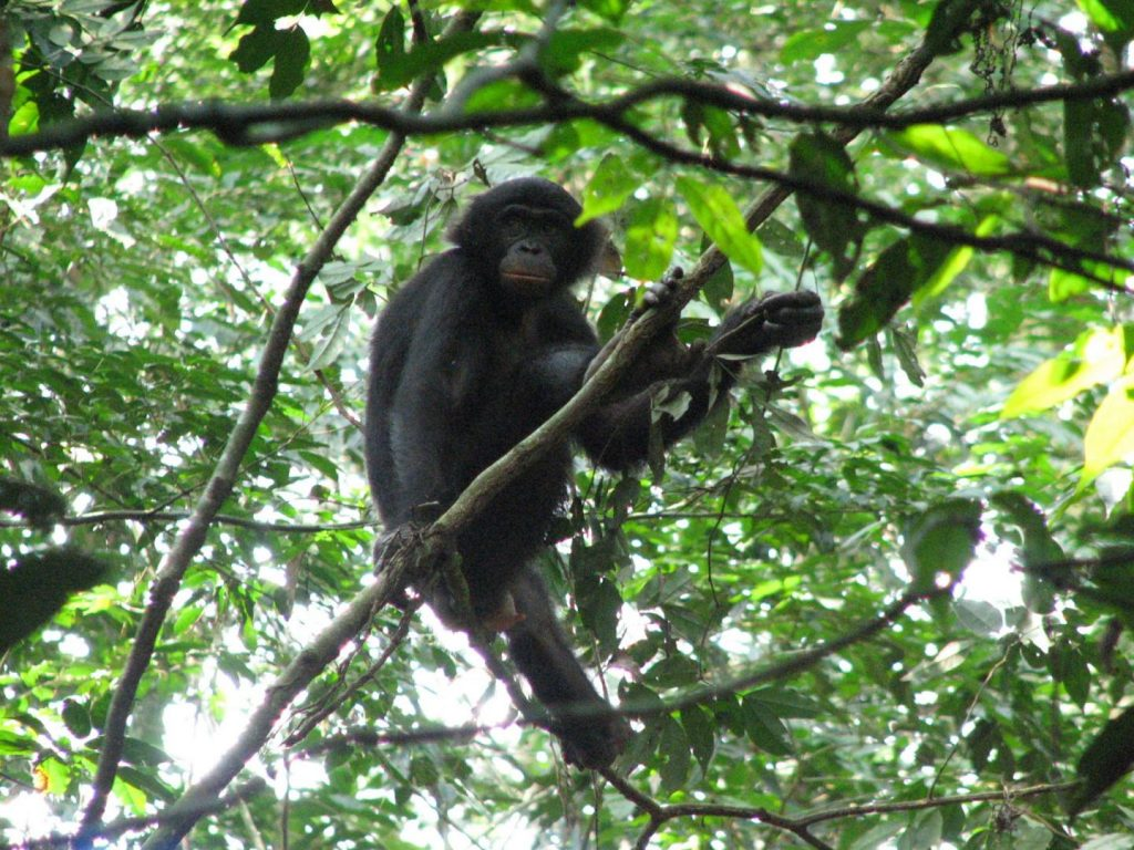 A female bonobo of the Hali-Hali community in the Kokolopori Bonobo Reserve (Democratic Republic of the Congo) relaxes on a branch (members of the Hali-Hali community contributed fecal samples for this study). Image/Alexander Georgiev