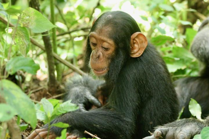 A two-year-old chimp named Betty, who succumbed to the virus. Image/Richard Wrangham